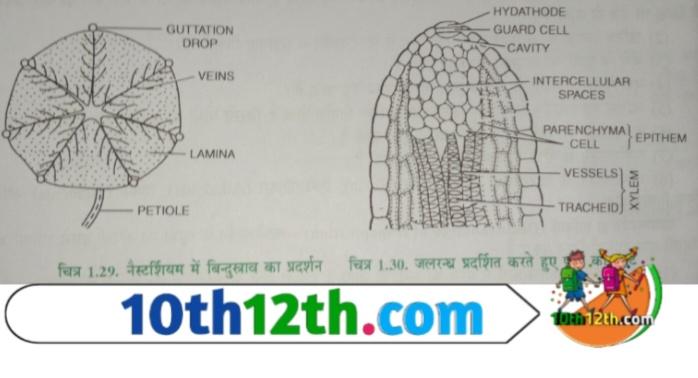 बिंदु स्त्राव किसे कहते है (12th, Biology, Lesson-1)