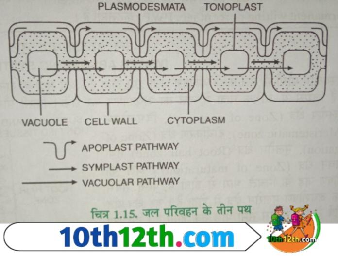 जल अवशोषण परिभाषा (12th, Biology, Lesson-1)